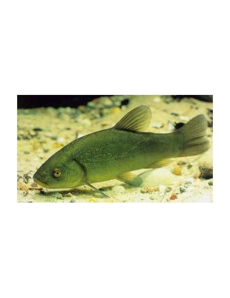 Zöld compó 15-18 cm