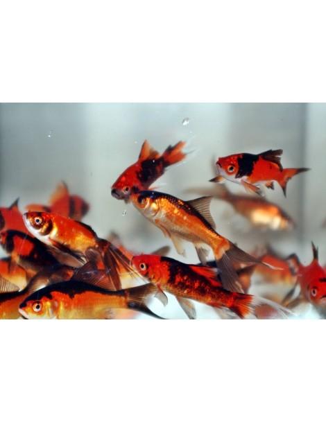Carasi aurii rosu-negru 4-7cm