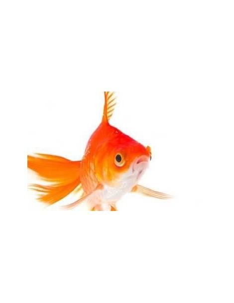 Tavi aranyhal piros 10-12 cm
