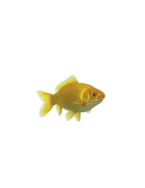 Tavi aranyhal sárga 10-12 cm