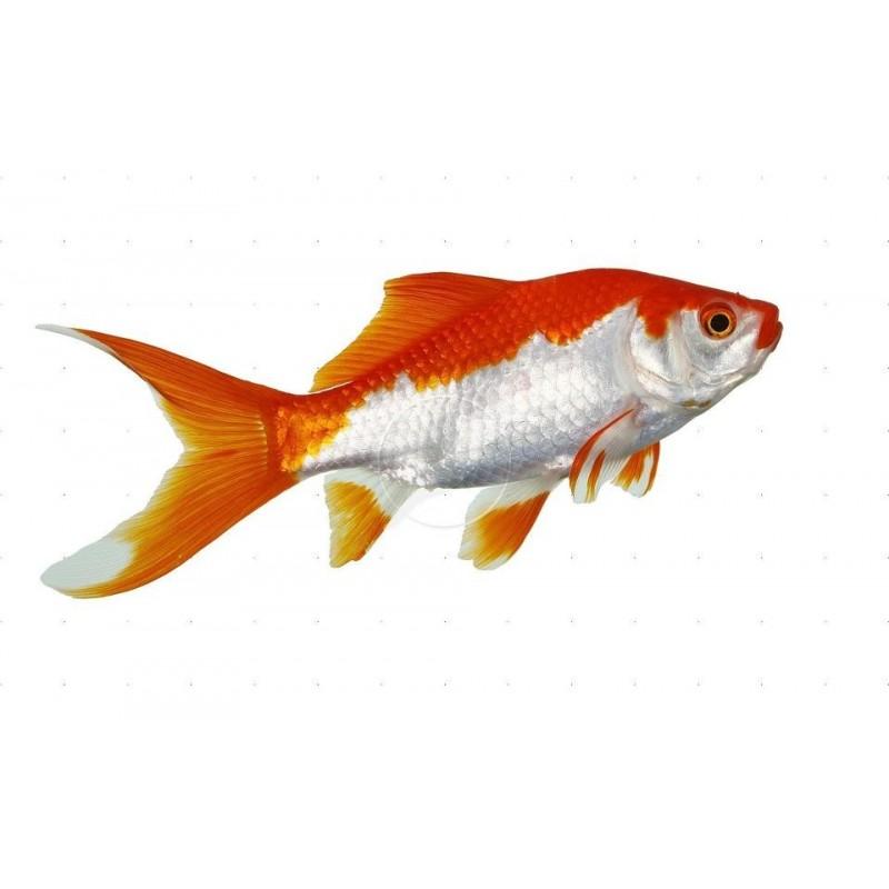 Sarsa 14-16 cm
