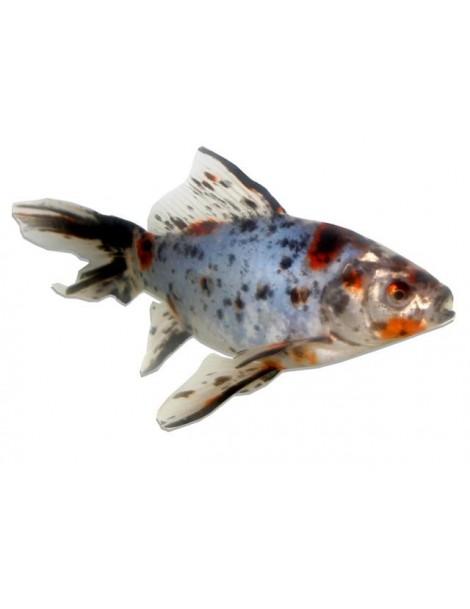 Shubunkin 12-15 cm