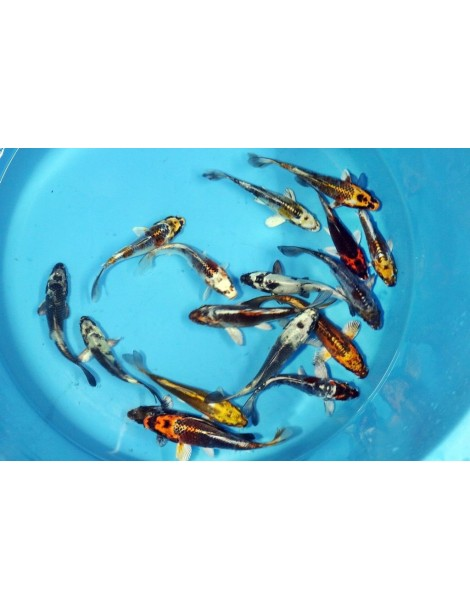 Koi HP Metal mix 12-15cm (2)