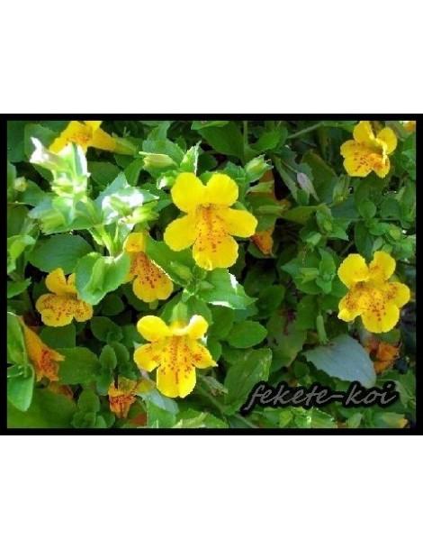 Mimulus luteus - Bohócvirág
