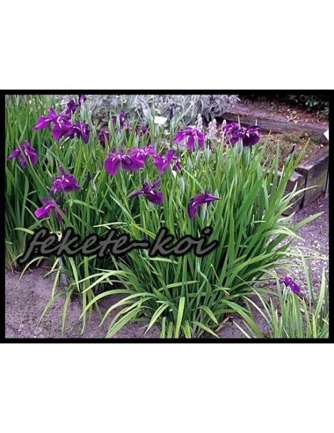 Iris ensata - Japán irisz