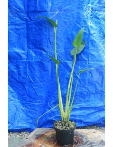 Pontaderia azurea