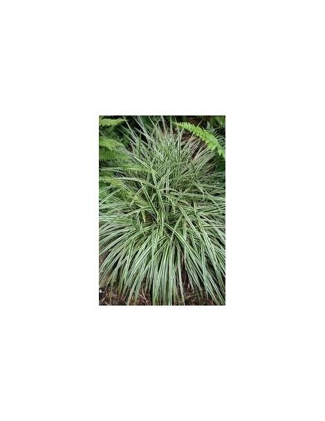 carex panaceae
