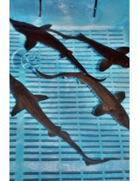 Lénai tok (Acipenser Baeri) 18-22 cm