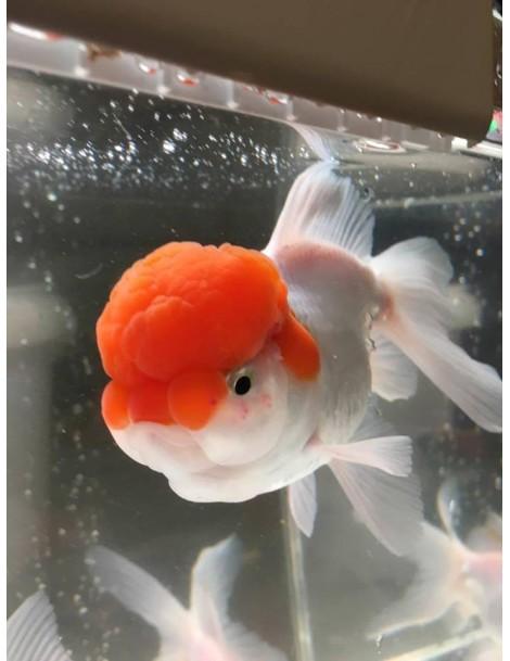 Oranda red cap 10-12 cm