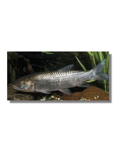 Amur 10-12 cm