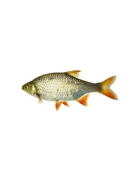 Vörös keszeg (Scardinius erythrophthalmus) 7-10 cm