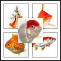 Carasi aurii ( Goldfish)