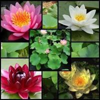 Lotusi si Nuferi
