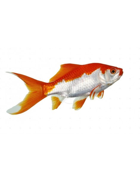 Sarasa 12-15 cm
