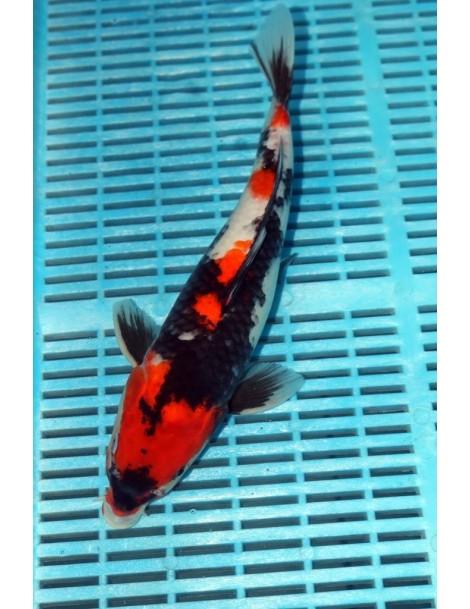 Japonezi Isa showa Hirasawa...