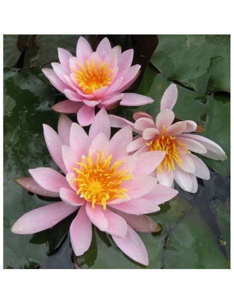 Nymphaea Rose Nymphe