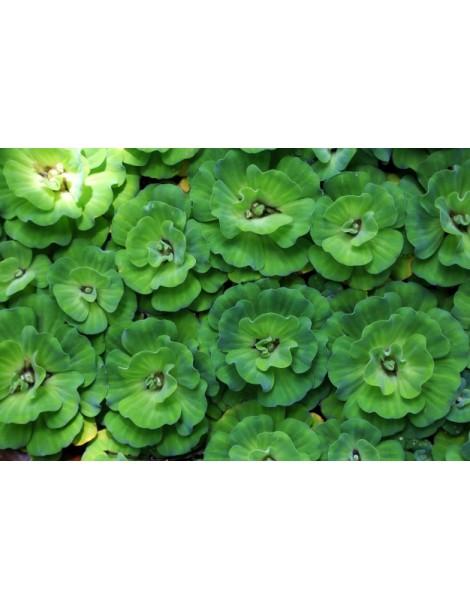 Pistia -salata (gigant) ~ 20 cm