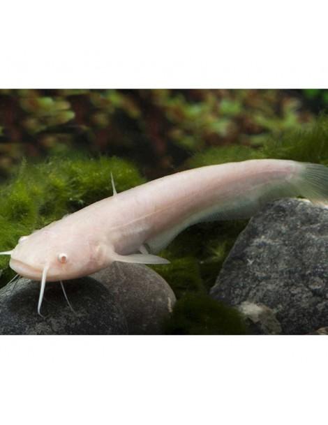 Somn albino 12-15cm