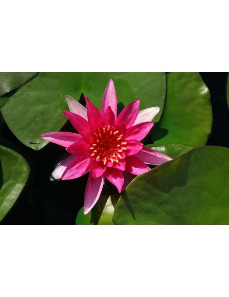 Nymphaea 'Gloriosa'