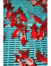 Premium Ryukin Red/White 12/14 cm