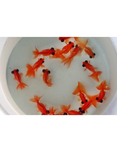 Red moor 5-8cm