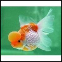 Pearlscale - Cap de bule